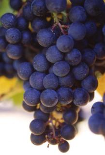 Grapes from the Bordeaux region